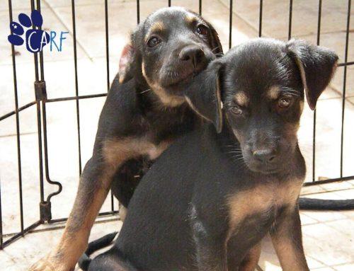 [NL] CARF Organiseert Puppy Adoptie Evenement in Jan Sofat